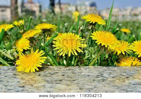 Yellow Flowers Dandelions Among Green Grass On A Lawn