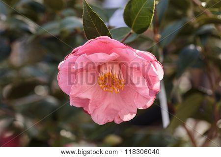Camellia japonica pink flower blooms