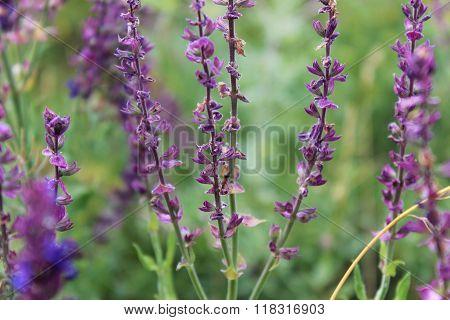 Violet Flovers Salvia Officinalis