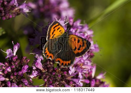 a small copper pollinating  a purple flower
