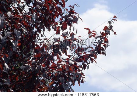 red plum, prunus cerasifera