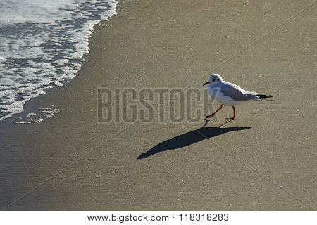 Gull Walks At Sunset