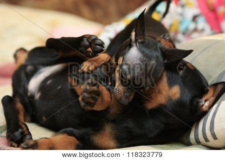 Puppies Fight
