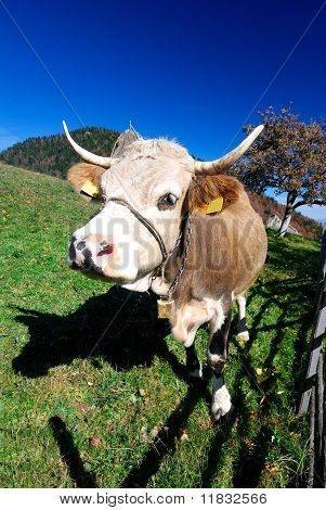 Farm Cow In Outdoor Landscape
