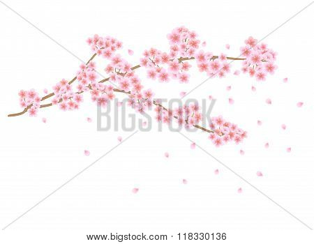 Sakura flowers branch