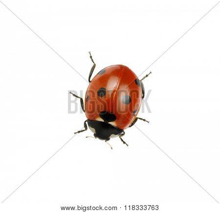 Ladybug isolated on white background