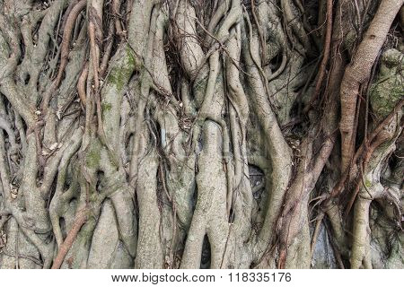 Closeup Of The Roots Of Banyan Tree