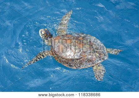 Green sea turtle in the Whitsundays, Australia