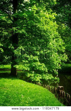 chestnut tree in park