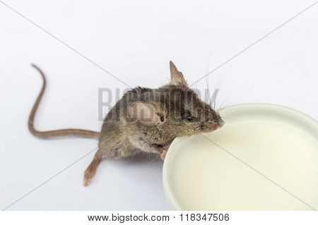 Baby mouse drinking milk