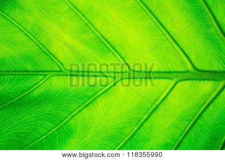 Elephant Ear Leaf And Sunlight