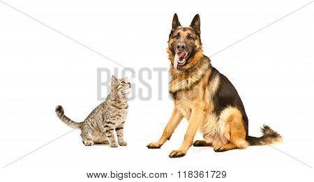 German Shepherd dog and funny cat Scottish Straight