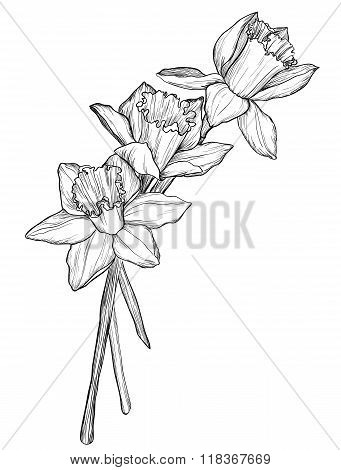 Sketch Of Narcissus Flowers Blossom