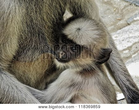 Closeup portrait of Hanuman Langur baby which is feeding on mother's milk
