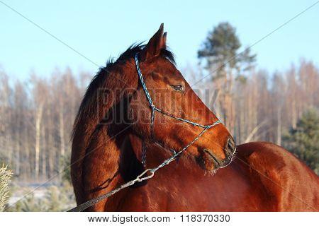 Bay Beautiful Holsteiner Horse Portrait