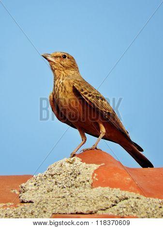 Lark bird perched vertical closeup portrait