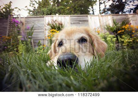Golden retriever dog with a fish eye lens