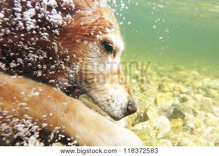 Golden retriever dog dives underwater for rocks