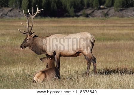 Pair Of Elk