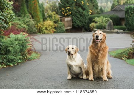 Golden retriever dog and best friend - The adventures of Scruff and Meringue