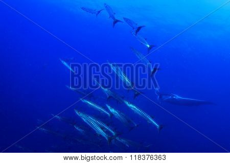 Barracuda fish and manta ray