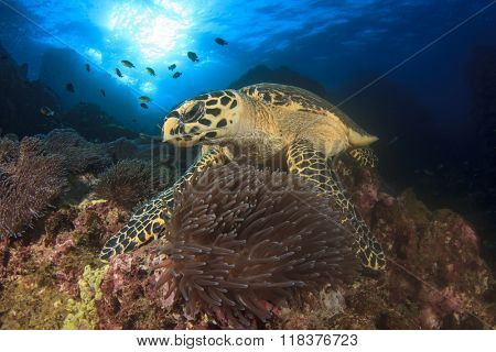 Hawksbill Sea Turtle feeding on coral