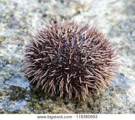 Sea urchin on stone