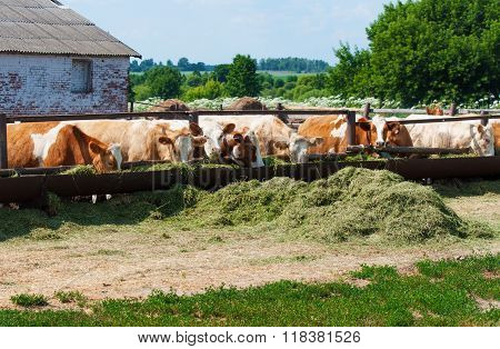 The Cows Eat Silage