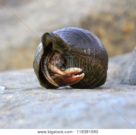 Hermit crab in the shell mollusc