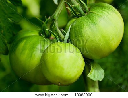 Some ripening tomatoes on the bush in a kitchen garden