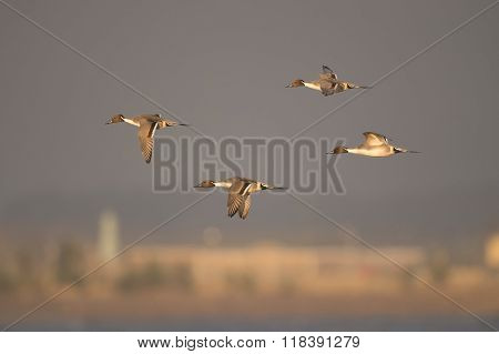 Pintail Duck, Anas Acuta, Four Males In Flight,
