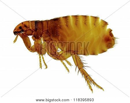 Cat Flea (ctenocephalides Felis) Isolated On White