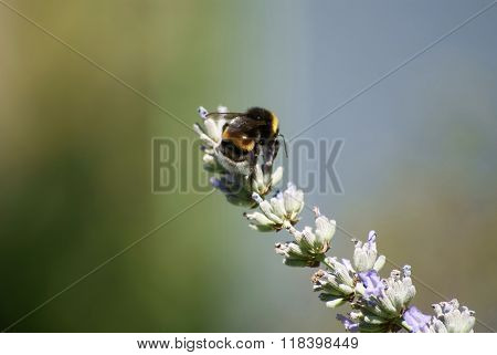 bumblebee  to forage for food