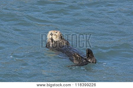 Sea Otter Relaxing In The Water