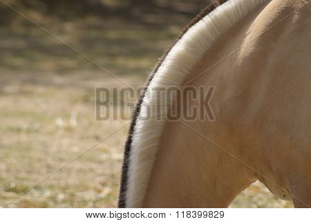 forelock of a norwegian fjord horse