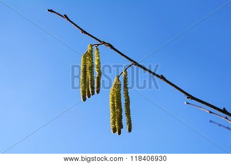 Hazel Catkins  Against The Blue Sky, Highly Allergenic Pollen In Early Spring, Close Up With Copy Sp