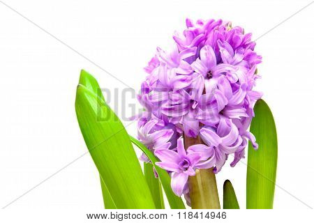 Purple Hyacinth Flower