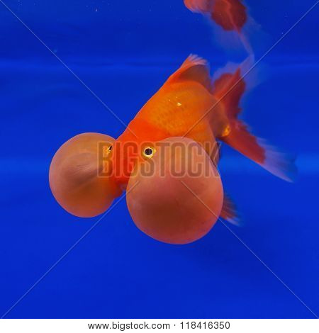 Beautiful goldfish on blue background in water.