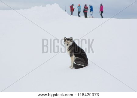 Lonely Small Black Dog Sitting On Snow