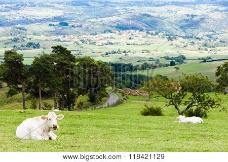 cows on meadow, Rhone-Alpes, France