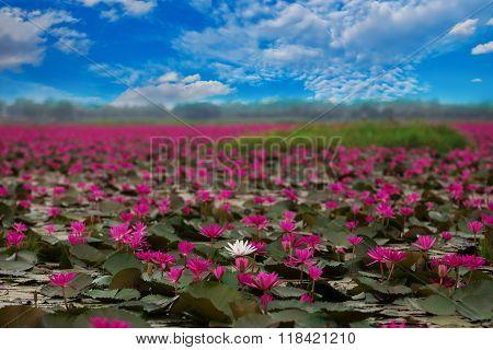 Sea of red lotus Marsh Red lotus Sea of red lotus Thailand