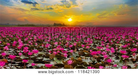 Sunshine rising lotus flower in Thailand province Udon Thani.