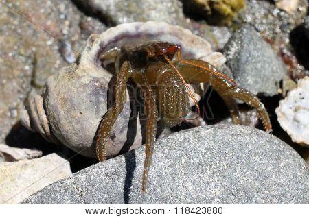 Grainyhand Hermit Crab