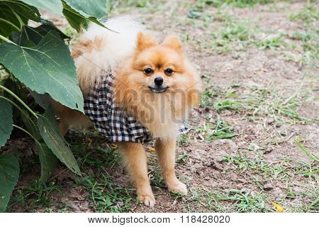 Beautiful little playful pomeranian red color on grass.