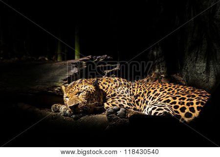Leopards jaguars sleep beside trees in the zoo.