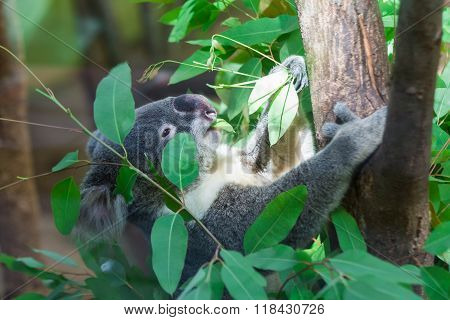 Koala bear sleeping in the zoo on tree.
