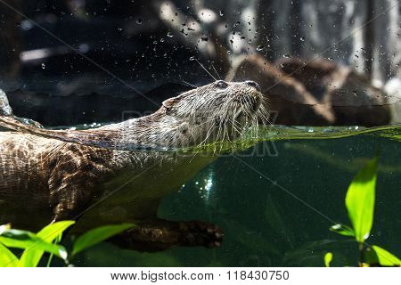 Close-up shot Otter swimming under water in nature.