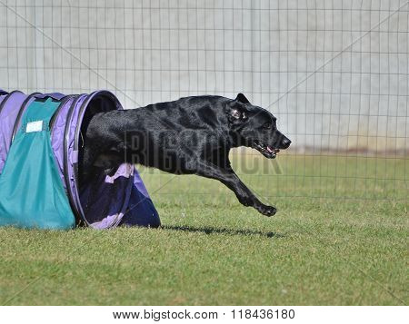 Black Labrador Retriever At A Dog Agility Trial