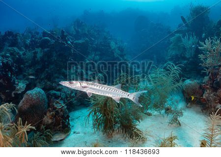 Barracuda on a Reef