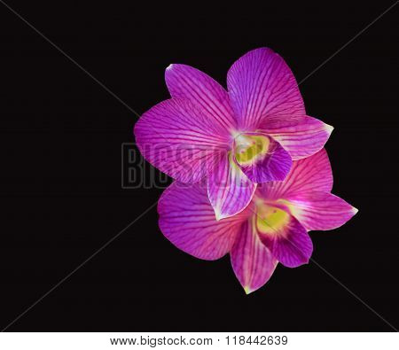 orchids  purple  with black background